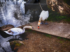 Swan and Cygnet (daviddavidson10) Tags: lake nature birds animal animals duck swan cygnet sanctuary wildfowl