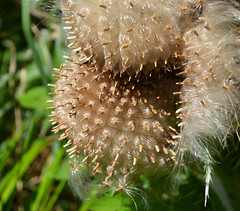 Clusters of silky thistle seeds burst forth (Monceau) Tags: thistle clusters seeds silky bursting