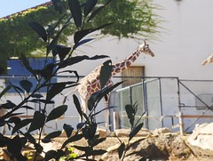 Girafe (stefff13) Tags: animal zoo animaux girafe beauval zooparc