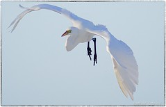 Great Great coming in for landing (RKop) Tags: a77mk2 minolta600mmf4apog esterolagoon florida raphaelkopanphotography sony wildlife