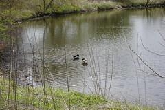 047.Mallards1-parkfield (aetherspoon) Tags: park bird duck pond mallard greentree birb