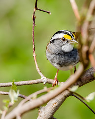 All Dressed Up (Don Weiss) Tags: backyard whitethroatedsparrow burlingtonia nikond5100 tamron150600mm