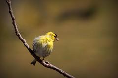 117.365.2016 (johnny the cow) Tags: bird wales garden photo diary cymru collection 365 catalogue ceredigion siskin 2016 aphotoaday 366 llanafan