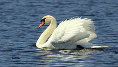 So ya gotta have a swan or you're out of luck... (judecat (getting back to nature)) Tags: nature wildlife muteswan capemaystatepark newjerseywildlife