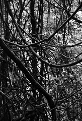 i heard it on the strangler vines.. (a world seen through open eyes) Tags: blackandwhite plants mountain tree nature forest landscapes vines rainforest natural hiking perspective scenic environmental australia brisbane treetrunk fallen bushwalking queensland bnw mountnebo undergrowth ecosystems mountglorious southeastqueensland stranglerfigs awstoe