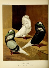 n315_w1150 (BioDivLibrary) Tags: pigeons fieldmuseumofnaturalhistorylibrary bhl:page=49799183 dc:identifier=httpbiodiversitylibraryorgpage49799183
