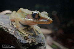 Chalcorana labialis_MG_1573 copy (Kurt (orionmystery.blogspot.com)) Tags: frog whitelippedtreefrog tropicalfrogs hylaranalabialis frogsofmalaysia chalcoranalabialis