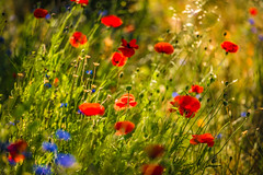 Poppies (tibchris) Tags: flowers nature landscape spring blues greens poppies wildflowers reds snapchris