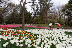 20160413-49-Spring flowers (Roger T Wong) Tags: travel flowers holiday japan kyoto tulips canonef1740mmf4lusm botanicgardens 2016 canon1740f4l canoneos6d rogettwong