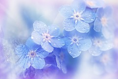239. These little Beauties are almost gone from the garden. For Sliders Sunday! (Small and Beautiful) Tags: blue wow drops digitalart forgetmenot 85mmf35 d3100 sliderssunday