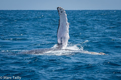 MarcTailly_mgb201509056084.jpg (hayastanlover) Tags: animals whales mammals madagascar dieren zoogdieren walvissen