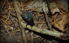 Scarabaeidae? (dustaway) Tags: nature night beetle australia queensland iridescent arthropoda tamborinemountain coleoptera scarabbeetle insecta scarabaeidae sequeensland australianinsects