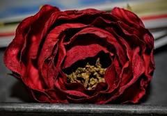 Rustic Romance (joshrainey7) Tags: light red sun flower color rose dark shadows indoor highlights romance