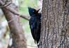 Carpintero-patagonico (Raquele) Tags: patagonia female chalten campephilusmagellanicus magellanicwoodpecker