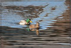 {Mallard Pond Reflections} (Wolverine09J ~ 1 Million + Views) Tags: aquaticbirds amazingcapture beautifulcapture mallardpair heartawards pondwaterfowl mallardreflections naturefifteennovember