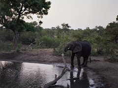 (chillbay) Tags: africa camp southafrica safari elephants waterhole krugernationalpark kruger tandatula krugerafrica