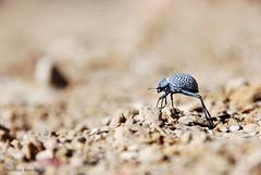 Adesmia sp (Mathias Dezetter) Tags: wild animal fauna montagne desert wildlife beetle sable bleu morocco maroc atlas sec tache animaux blanc ouarzazate insecte imago coleoptera faune tach tenebrionidae coloptre scarab aride invertbr tnbrion