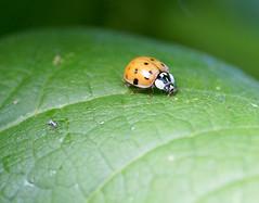 Harlequin Ladybird (Annette Rumbelow) Tags: insects ladybird harlequin macroshots matingladybirds annetterumbelowwilson