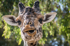 Herd Sire [in Explore 1/11/16] (helenehoffman) Tags: tanzania kenya giraffe sire giraffacamelopardalistippelskirchi masaigiraffe specanimal kilimanjarogiraffe conservationstatusthreatened