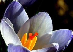 DSC02419 (François wry) Tags: macro colors soleil hiver crocus pistil contraste couleur pétale étamine