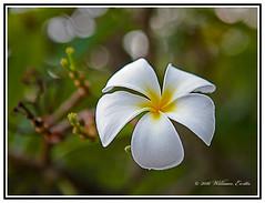 The Beautiful Frangipani Flower - Plumeria (Bill E2011) Tags: flowers nature beauty canon plumeria tropical frangipani subtropical scent fragrance scented