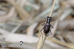 Besouro - Odontochila nodicornis (Cicindelidae) (Ou Carabidae, Cicindelinae, segundo alguns autores) (Marquinhos Aventureiro) Tags: brazil brasil wildlife natureza beetle vida floresta selvagem besouro carabidae cicindelidae cicindelinae nodicornis hx200 marquinhosaventureiro odontochila