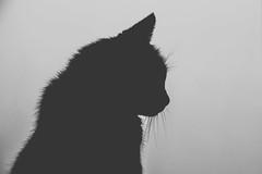 Silhouette (ResiSambesi) Tags: blackandwhite cat grau whiskers katze monochrom moritz miau kittycat schattenriss solhouette