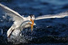 Coming Out! (bmse) Tags: fish canon fishing l f56 salah bolsachica 400mm eleganttern wingsinmotion 7d2 bmse baazizi