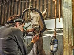 P1290085 (gill4kleuren - 11 ml views) Tags: horses dentist haflinger tandarts 2015 hengst