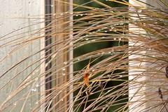 Ammophila (Hans-Jrgen Bckmann) Tags: ammophila strandhafer