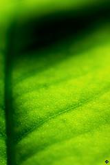 Lemon leaf (amandine_herrero) Tags: life wild plant france color macro tree green texture love nature colors plante garden leaf lemon flora europe colorfull wildlife vert fresh extrieur arbre couleur feuille flore macrophotography aquitaine gironde macrophotographie citronnier