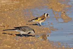 European Goldfinch (Tevaironi) Tags: bird nature birds goldfinch finch wildbirds cardueliscarduelis  israelibirds holylandbirds
