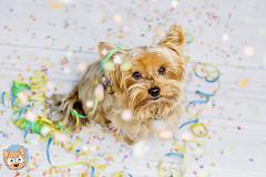 06/52 Helau! (ChaosTrickserAlfi) Tags: dog yorkie hund yorkshireterrier fasching helau alfi 52weeksfordogs 52wochenalfi chaostrickser