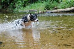 Lara flying (mcvmjr1971) Tags: travel dog beach brasil swim fun 50mm nikon collie play sopaulo border joy run cachorro viagem litoralnorte sosebastio barradouna prais f18d lensnikkor d7000 mmoraes