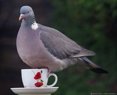 pigeon on tea cup (2) (Simon Dell Photography) Tags: life new wood old wild bird simon cup nature birds garden photography diy photo village tea pigeon wildlife sheffield yorkshire drinking feeder dell s12 hackenthorpe cuup
