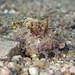 Filament-finned Stinger - Two-stick Stingfish or Devil Scorpionfish - Inimicus filamentosus
