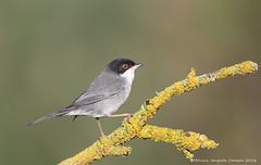 Toutinegra de cabeça preta // Sylvia Melanocephala // Sardinian Warbler (Jangada2011) Tags: ngc sylviamelanocephala sardinianwarbler toutinegradosvalados toutinegradecabeçapreta