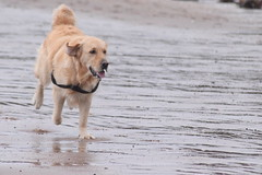 Happy ((fiona) thank you for your visit) Tags: dog beach goldenretriever happy golden nikon gorgeous grateful goldie