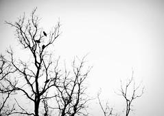 Three Blackbirds & A Hawk (PEEJ0E) Tags: trees winter red snow black tree bird backyard hawk branches whit prey crow blackbird tailed 303
