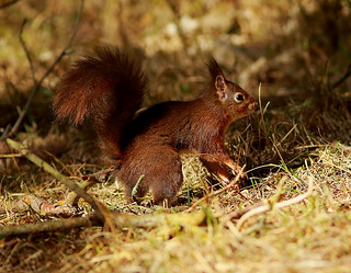 Red Squirrel (Sciurus vulgaris) (Explored)