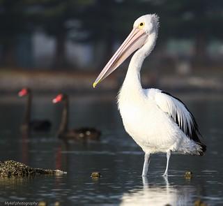 Coorong Pelican