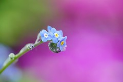 "わすれなぐさ (勿忘草)/Myosotis scorpioides (nobuflickr) Tags: flower nature japan botanical kyoto 日本 forgetmenot 花 ""the myosotisscorpioides garden"" 勿忘草 waterforgetmenot 京都府立植物園 わすれなぐさ ムラサキ科ワスレナグサ属 20160216dsc01499"