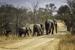 En camino (Consuelo Vergara Mendez) Tags: elephant sudafrica elefantes krugger