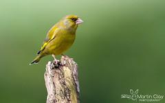 Greenfinch - 28th February 2016 (TopBeater) Tags: garden finch finches perch greenfinch gardenbirds bartonstacey testvalley hampshirewildlife