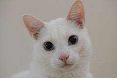 Snoopy (twinkle_moon_bunny) Tags: white cute cat