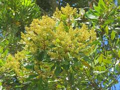 Cryptocarya obovata 11 (barryaceae) Tags: kooloobung creek nature park port macquarie new south wales australia australianrainforestplant ausrfps cryptocarya obovatapepperberry tree lauraceae
