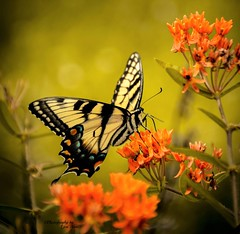 Angel Wings (~Photography by Lori Anne~) Tags: flowers orange nature floral beauty yellow butterfly garden outdoors golden nikon bokeh swallowtail greatphotographers d7100 greatestphotographers