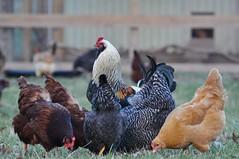 King hicken (CaptPiper) Tags: bird chicken flock