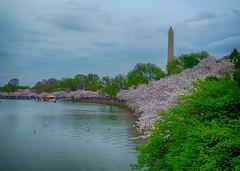 Cherry Blossoms in Washington, DC (` Toshio ') Tags: flowers lake water washingtondc dc spring districtofcolumbia cherryblossoms blooms washingtonmonument tidalbasin toshio xe2 fujixe2