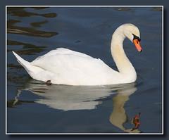 Wer ist der Schnste im ganzen Land? (p_jp55 (Jean-Paul)) Tags: reflection bird germany deutschland swan reflet schwan allemagne spiegelung spiegelbild oiseau cygne vogel rheinlandpfalz leuk saarburg leukbach